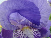 Iris Flowers Macro Close Up 6 Purple Irises Art