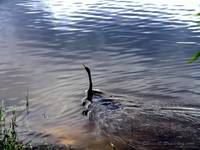 Anhinga Swimming Into the Light