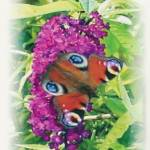 """""""Peacock Butterfly"""" by norfolkandsuffolkwaters"""