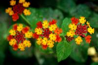 Red & Yellow Flowers. Mauritius