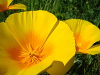 Summer Poppy Flowers Art 4 California Poppies Prin