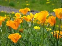 Meadows Poppy Flowers Orange Poppies Fine Art