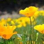 """Wildflowers Glowing Poppies 11 Landscape Art Print"" by BasleeTroutman"