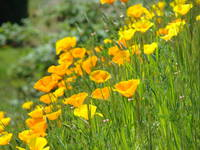 Flower Meadow Orange Poppies 19 Poppy Flowers Art