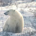 """Polar bear 1"" by TheClockworkDragon"