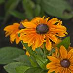 """Black-Eyed Susan"" by IanMcKenzie"