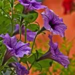 """""""Petunia"""" by IanMcKenzie"""