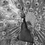 """Peacock (B&W)"" by alexrice"