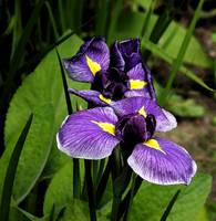 Iris Colourwash