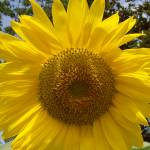 """Sunflower"" by angela_crosby"