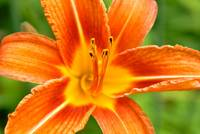 Asiatic Lily III