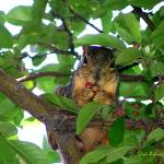 """FOX SQUIRREL"" by dedleman"