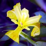 """Yellow Iris BlueBackground"" by Kirby"