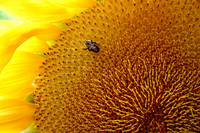 Montauk Giant Sunflower with Bee