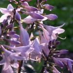 """""""purple hosta flowers"""" by megsterrr"""