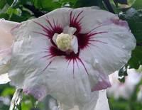 white and pink rose of sharon flower