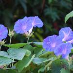 """""""Morning Glory - Blue"""" by rderder"""