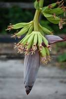 banana flower II