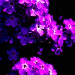 """Phlox1"" by BuddhabellyDave"