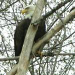 """BALD EAGLE IN CLEMENTS CORNER"" by MeziadinLakeLady"