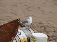 A seagull on tenby beach