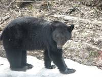 BLACKBEAR ON SNOW