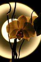 Orchids moon