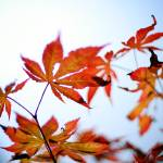 """Japanese Maple"" by FScala"