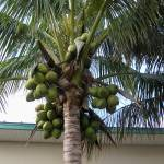 """Coconut Tree loaded with green coconuts"" by TheMears"