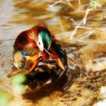"""MANDARIN BATHING"" by dedleman"
