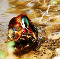 MANDARIN BATHING