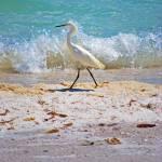 """""""strolling snowy egret"""" by lwoodburn"""