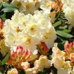 """Rhodies Creamy Yellow Peach 3 Rhododendrums Art"" by BasleeTroutman"