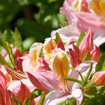 """Azaleas Pink Orange Yellow 6 Azalea Flowers Art"" by BasleeTroutman"
