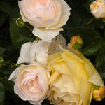"""Pale pink and lemon roses"" by SueLeonard"