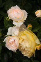 Pale pink and lemon roses