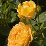 """Yellow roses"" by SueLeonard"