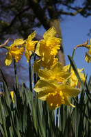 Beautiful daffodils trumpets in Springtime
