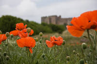 Poppies and Castle