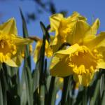 """Beautiful yellow daffodil trumpets in Spring time"" by SueLeonard"