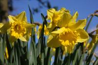 Beautiful yellow daffodil trumpets in Spring time