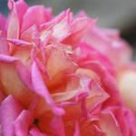 """""""Textured pink rose"""" by SueLeonard"""