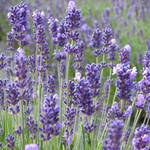 """Lavender flowers at their best"" by SueLeonard"