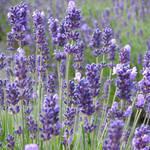 """Lavender flowers at their best"" by SueLeonard"