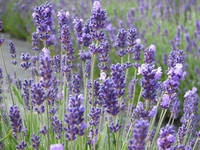Lavender flowers at their best