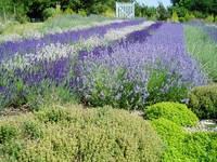 Field of lavendar plants