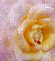 Close up of a beautiful pink rose