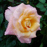 """Pink rose after the rain"" by SueLeonard"