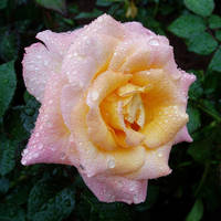Pink rose after the rain