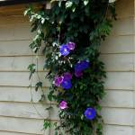 """Morning Glories"" by luv4pix"